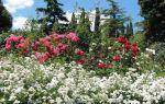 Бал хризантем 2017 в никитском ботаническом саду (ялта)