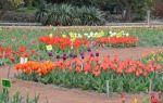 10 апреля пройдет в никитском ботсаде пройдет «парад тюльпанов»