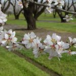 Когда в Крыму цветет миндаль. Сроки цветения. Фото. Где растет